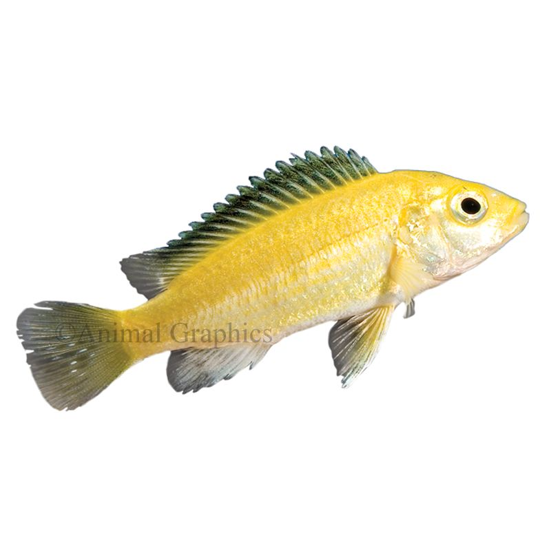 Electric Yellow Labidochromis African Cichlid