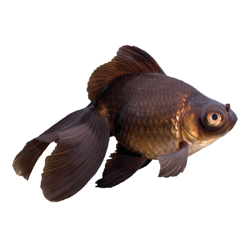 Black Moor Goldfish Size Medium