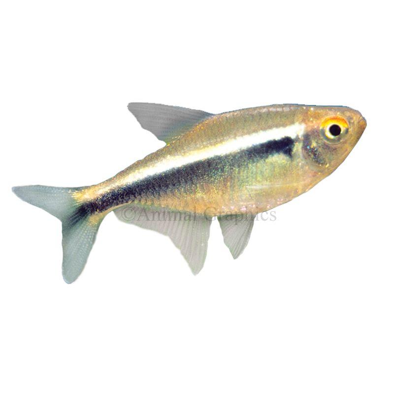 Black neon tetra hyphessobrycon herbertaxelrodi characin for Petsmart live fish