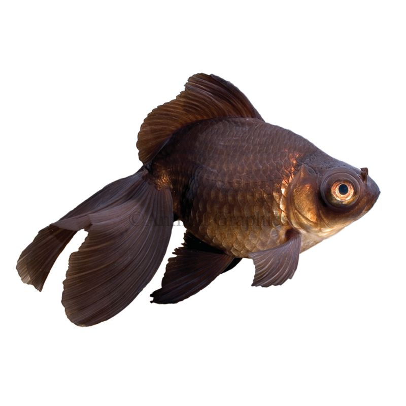 Black Moor Goldfish Size Small