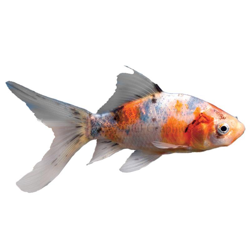 Shubunkin Goldfish Size Small