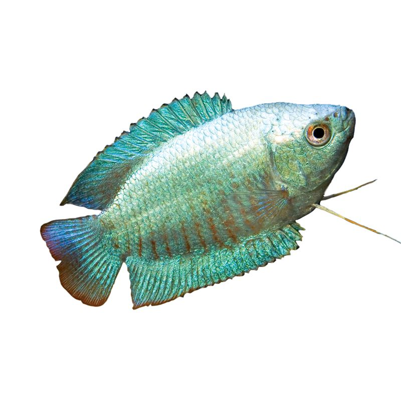 Dwarf gourami trichogaster lalius colisa lalia dwarf for How much are fish at petsmart