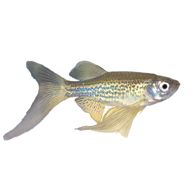 Long Finned Gold Zebra Danio