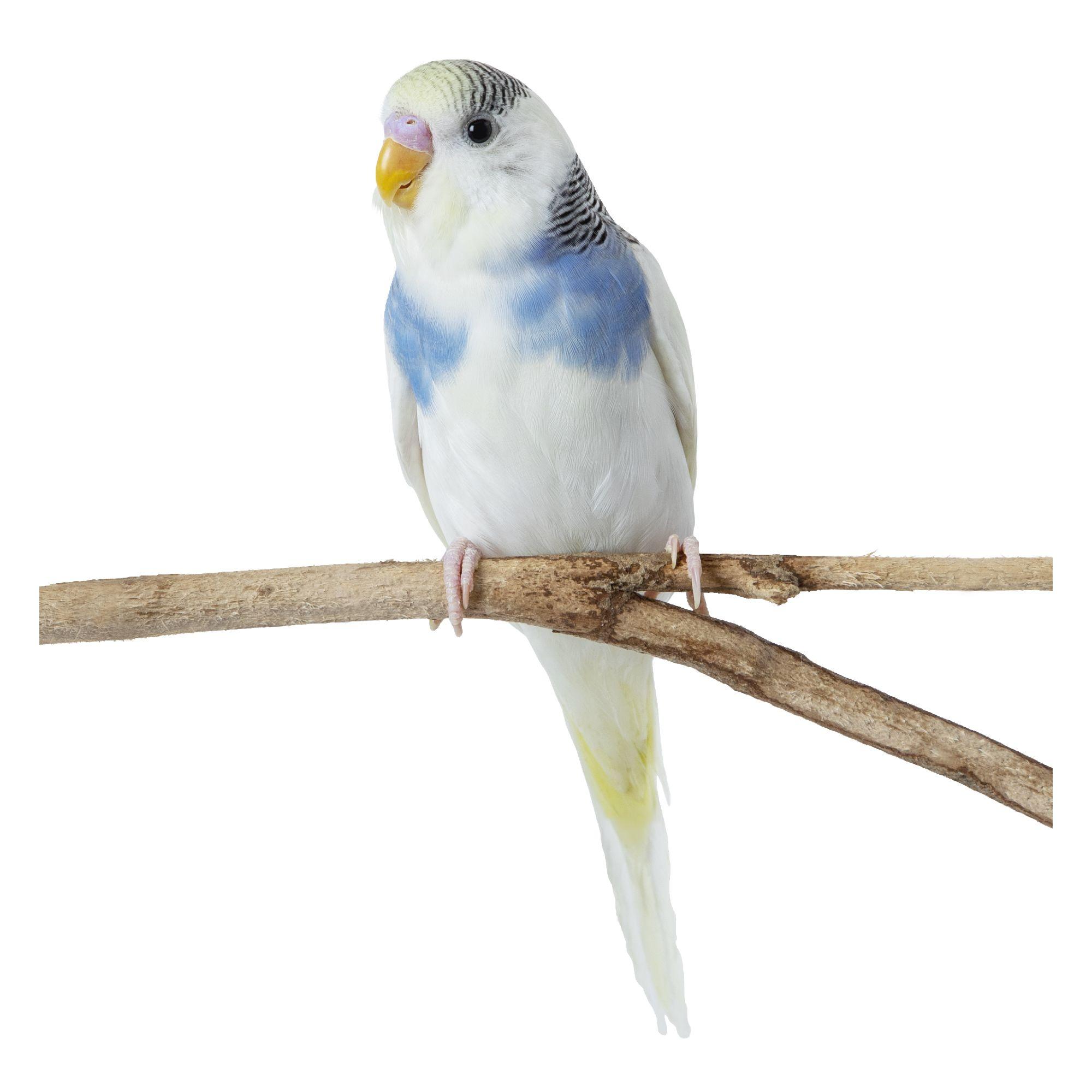 Fancy Parakeet