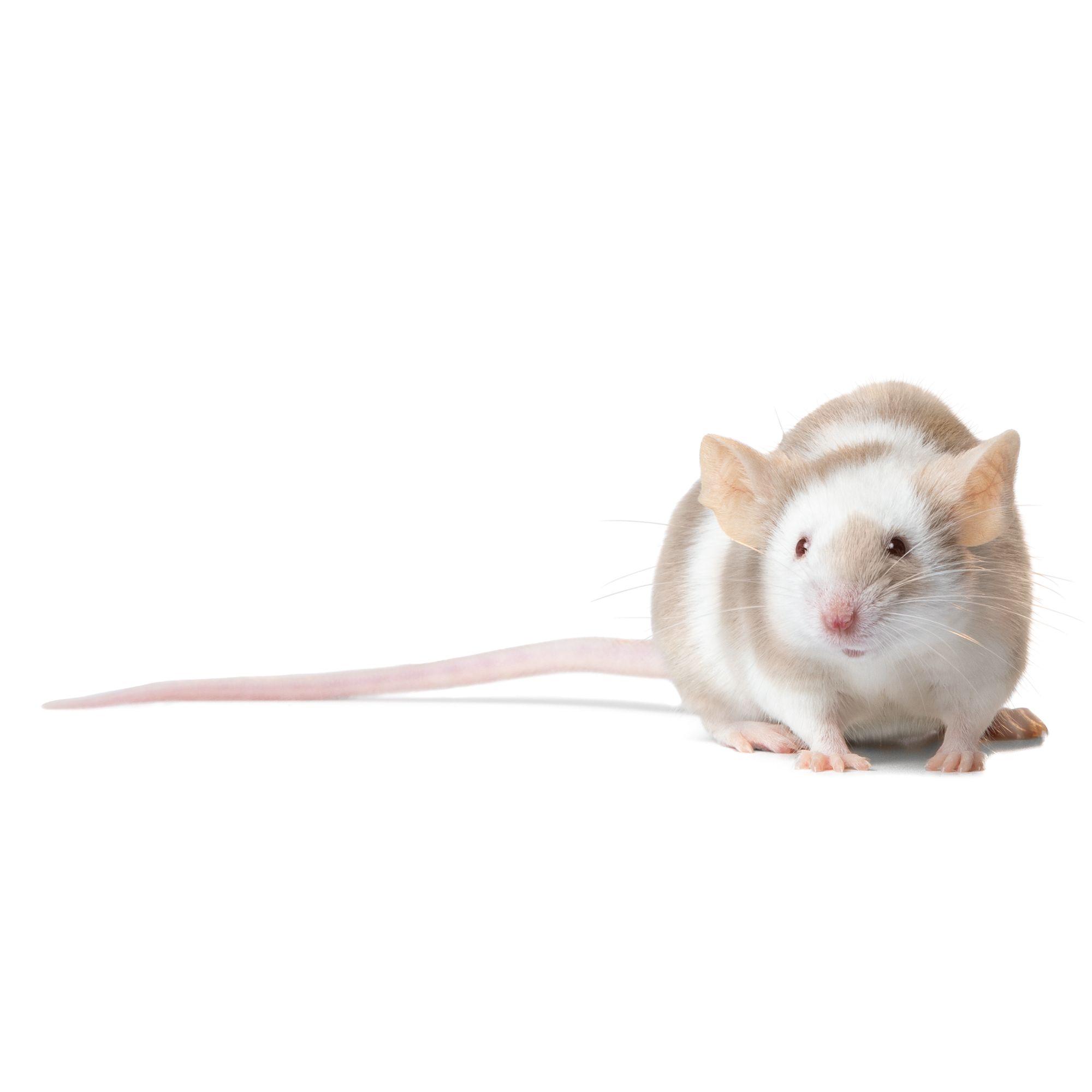Male Fancy Mouse 4051166