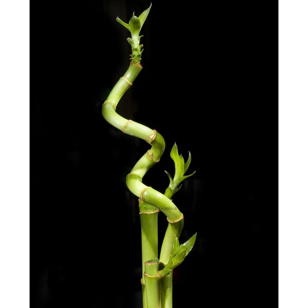 Curly Bamboo Green Petsmart