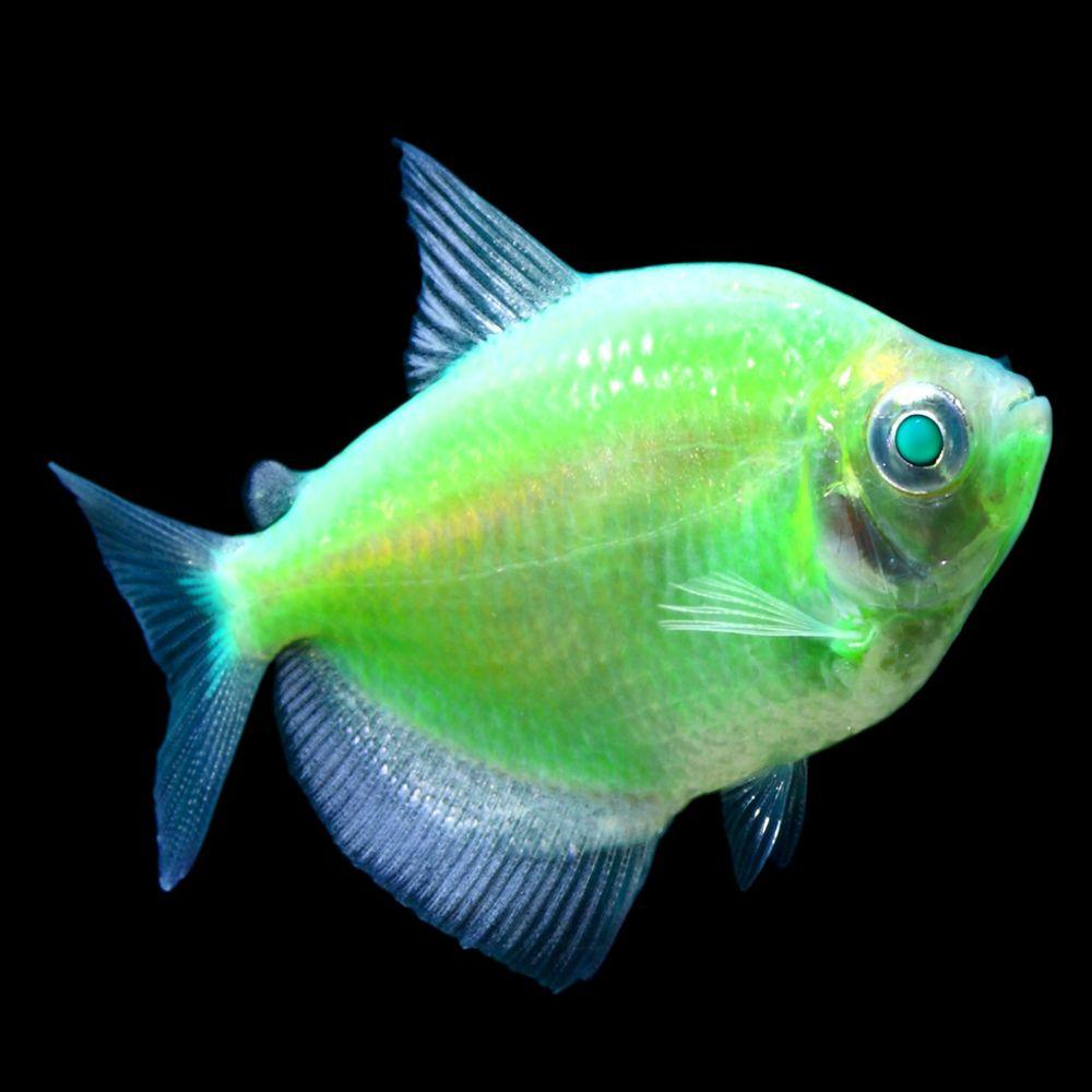 Glofish Electric Green Tetras Size Small