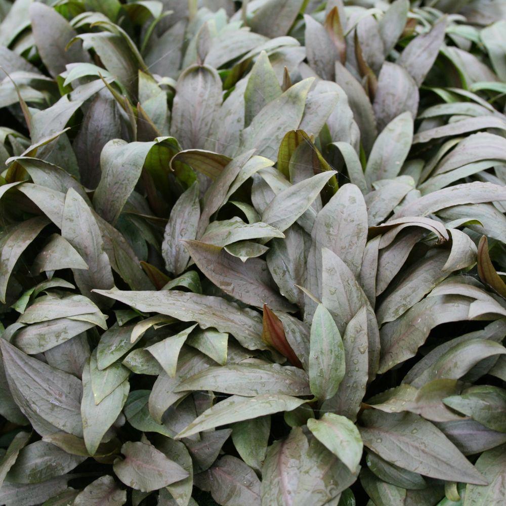 Cryptocoryne Undulata Aquarium Plant Green Gray Petsmart