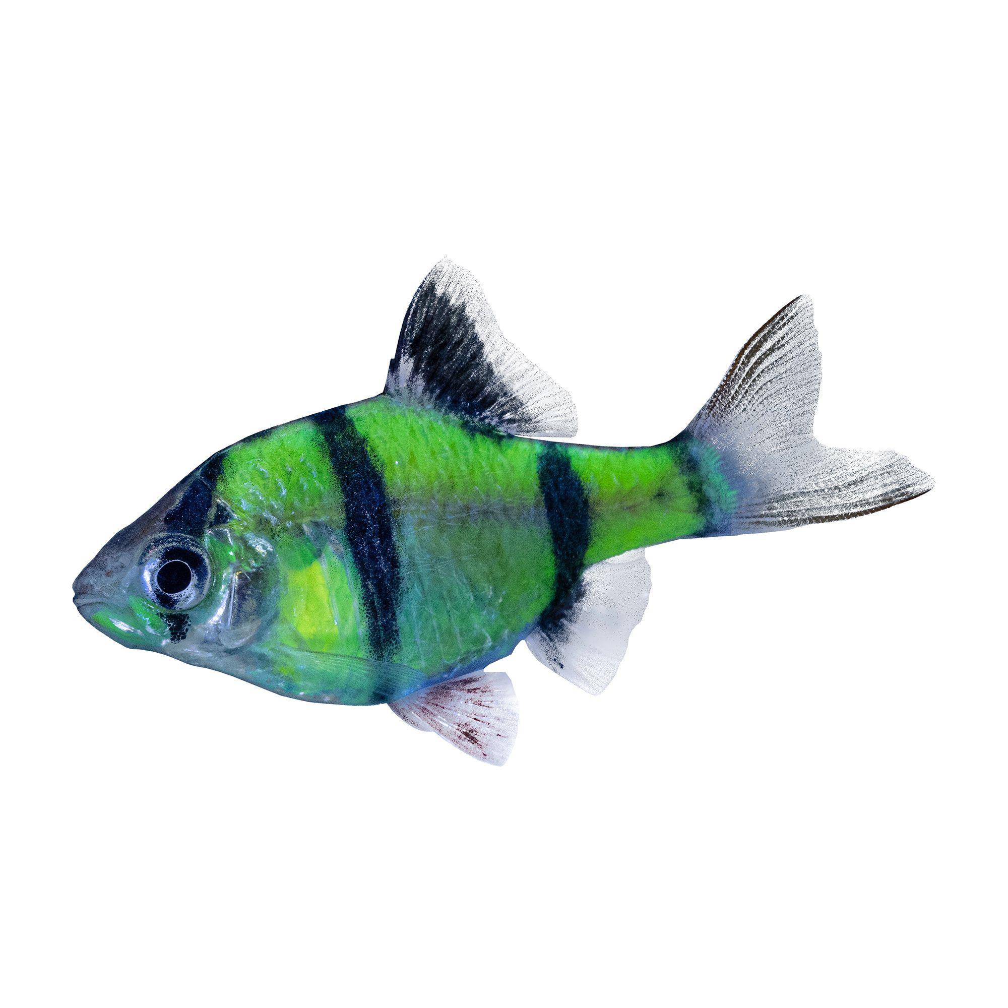 Glofish Electric Green Glofish Size Small