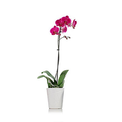 "5"" Orchid Garden, 1 Stem - Purple"