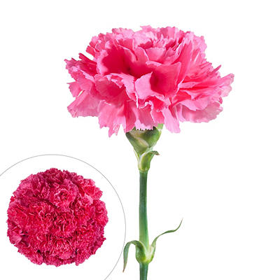 Carnations, 200 ct. - Hot Pink
