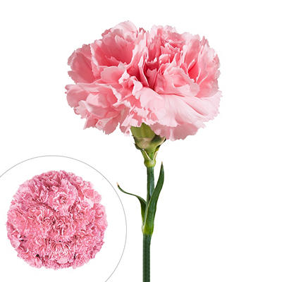 Carnations, 200 ct. - Pink