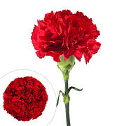 Carnations, 200 ct. - Red