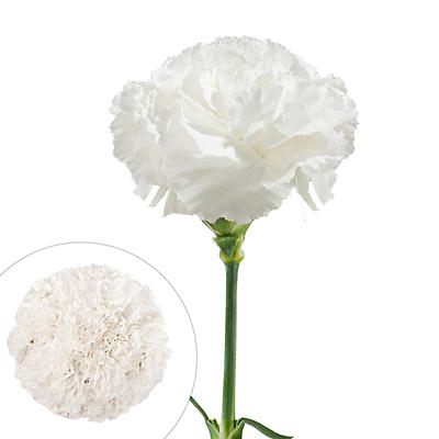 Carnations, 200 ct. - White