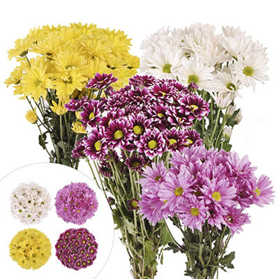 Daisies, 84 Stems - Assorted
