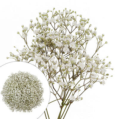 Gypsophilia/Baby's Breath, 10 Bunches - White