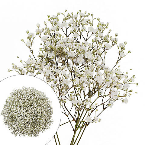 Gypsophilia Baby S Breath 10 Bunches White Bjs Wholesale Club