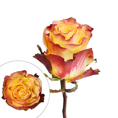 Rainforest Alliance Certified Roses, 125 Stems - Yellow/White
