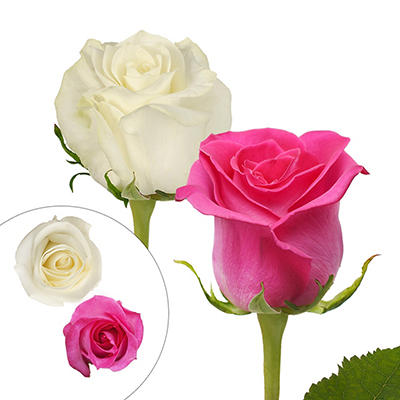 Rainforest Alliance Certified Roses, 125 Stems - Hot Pink/White