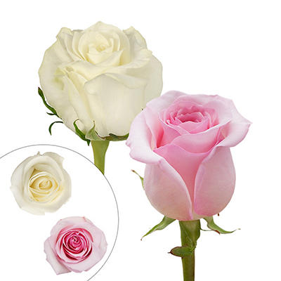 Rainforest Alliance Certified Roses, 125 Stems - Light Pink/White