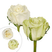 Rainforest Alliance Certified Roses, 125 Stems - Green/White