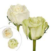 Rainforest Alliance Certified Roses, 125 Stems - Green/White