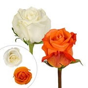 Rainforest Alliance Certified Roses, 125 Stems - Orange/White