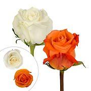 Rainforest Alliance Certified Roses, 125 Stems - Orange/White