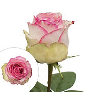 Rainforest Alliance Certified Roses, 125 Stems, Bicolor White-Pink/White