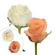 Rainforest Alliance Certified Roses, 125 Stems - Peach/White
