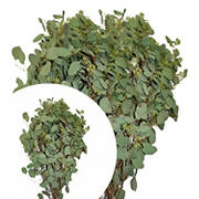 InBloom Seeded Eucalyptus, 40 Stems