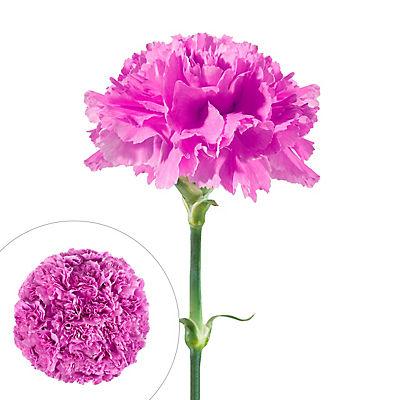 InBloom Carnations, 100 Stems - Lavender