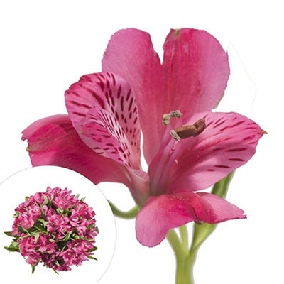 InBloom Alstroemeria, 120 Stems - Hot Pink