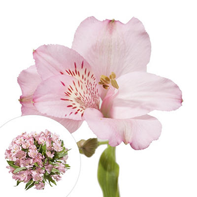 InBloom Alstroemeria, 120 Stems - Pink