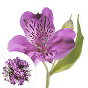 InBloom Alstroemeria, 120 Stems - Purple