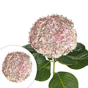 Jumbo Hydrangeas, 12 Stems - Antique Pink