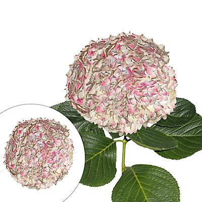 Jumbo Hydrangeas, 12 Stems - Antique Pink