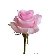 Rainforest Alliance Certified Roses, 50 Stems - Light Pink
