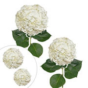 Hydrangea Jumbo and Regular Combo Pack, 20 Stems - White