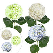 Hydrangea Jumbo and Regular Combo Pack, 12 Stems - White/Blue/Kiwi