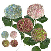 Hydrangea Jumbo Combo Pack, 12 Stems - Antique