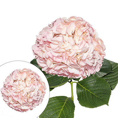 Hand-Painted Hydrangeas, 26 Stems - Light Pink
