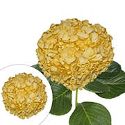 Hand-Painted Hydrangeas. 26 Stems - Fall Yellow