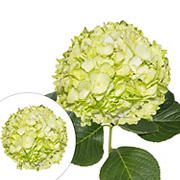 Hand-Painted Hydrangeas, 26 Stems - Lemon Green
