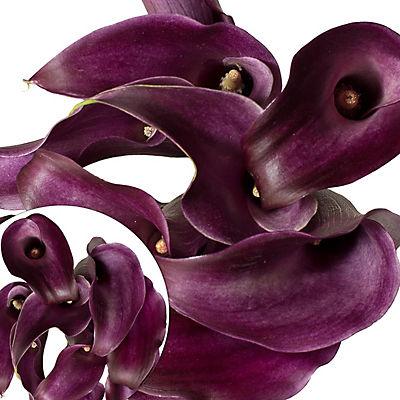 Mini Calla Lily, 100 ct. - Purple