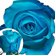 Tinted Rose, 100 ct. - Turquoise