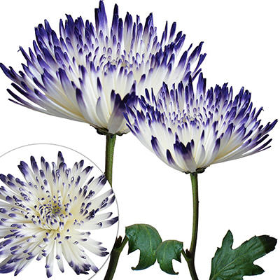 Painted Spider Mums, 100 ct. - White/Blue