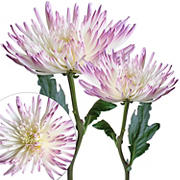 Painted Spider Mums, 100 ct. - White/Lilac