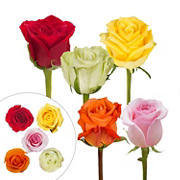 Rainforest Alliance Certified Roses, 125 Stems - Fiesta Assorted