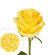 Roses and Petals Combo Box, 75/2,000 pk. - Yellow